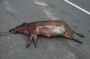 Wild Pig--Road Kill