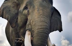 Elephant in Sumatra's Jambi Province