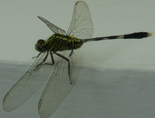"This dragonfly was about 6"" long."