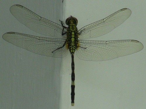 Dragonfly Large500