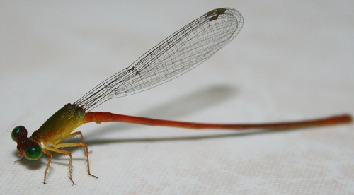 """This dragonfly was about 4"""" long."""