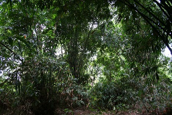 "The two sacred graves called ""Kuburan Panjang"" are located in a dense area overgrown with bamboo."