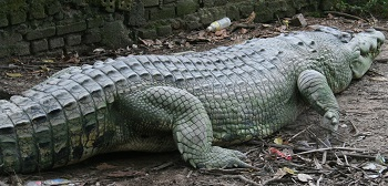 One of the monster crocs at the farm.