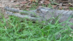It was said that the crocodile was a Tomistoma schlegelii (a type with a long pointed snout.