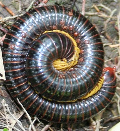 Centipede in Kota Rayo. When touched with a stick, the centipedes will roll up.