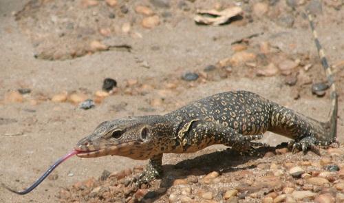 Lizard we saw along the Batanghari River.